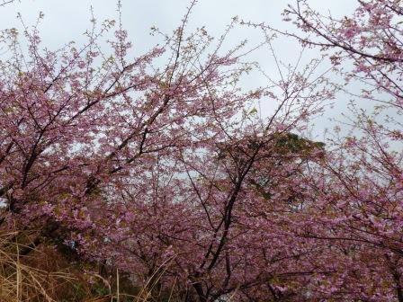 大角海浜公園 河津桜 4