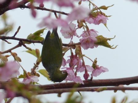 河津桜 & メジロ 1