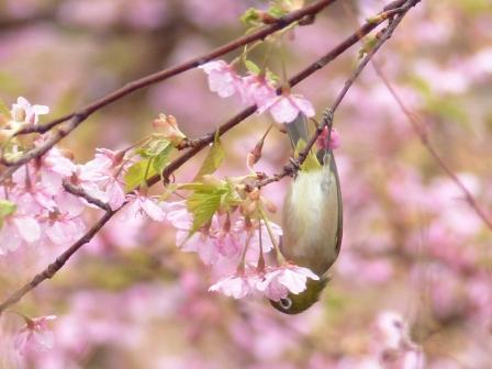 河津桜 & メジロ 7