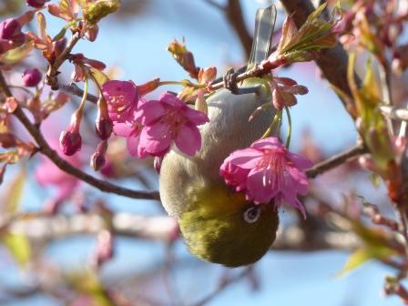 河津桜 & メジロ 2