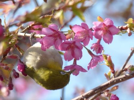 河津桜 & メジロ 3