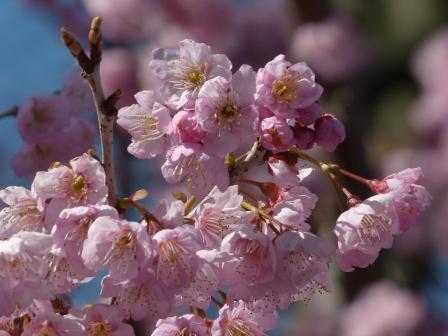 椿神社 椿寒桜 2