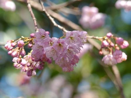椿神社 椿寒桜 3