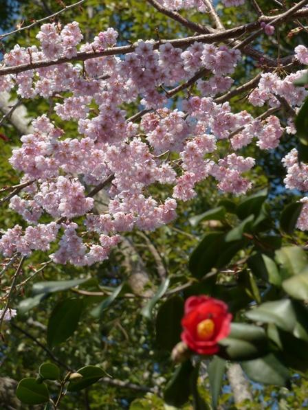 椿神社 椿寒桜 & 椿 1