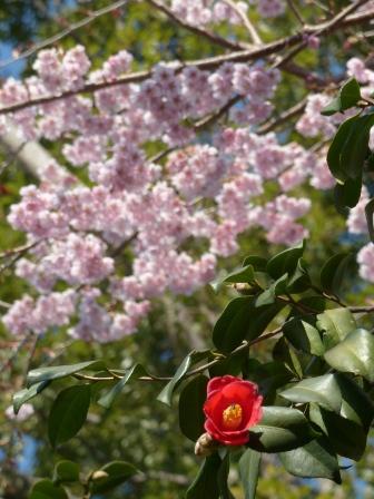 椿神社 椿寒桜 & 椿 2