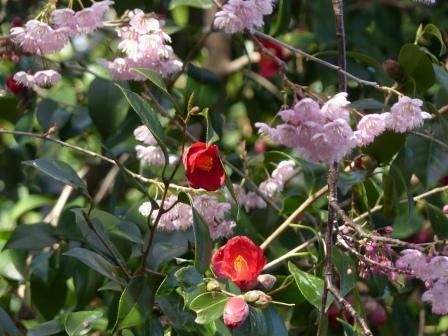 椿神社 椿寒桜 & 椿 3