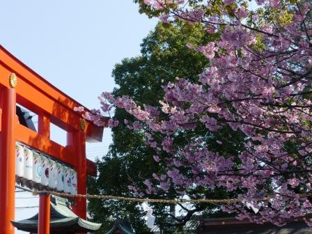 椿神社 椿寒桜 1