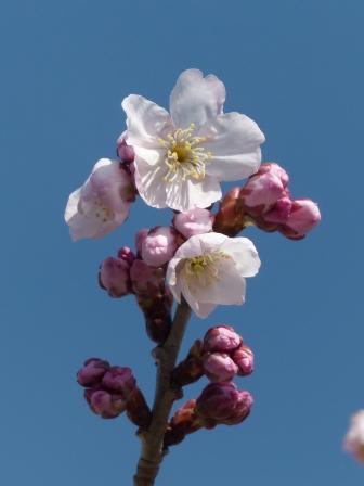 十六日桜 6