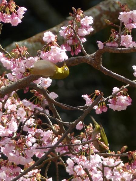 薄紅寒桜 & メジロ 1