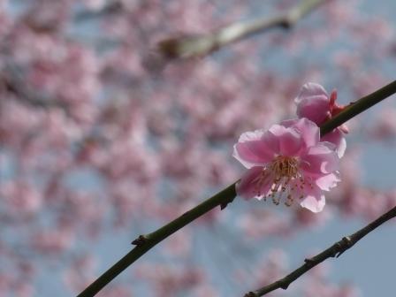 梅 & 薄紅寒桜