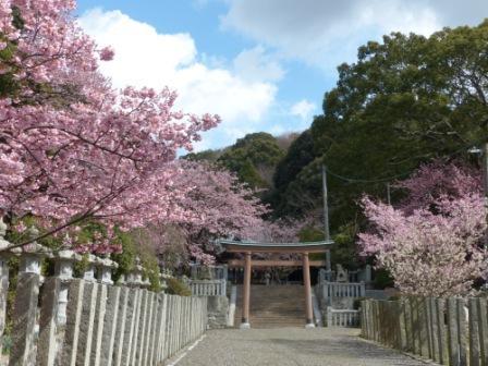 薄紅寒桜 4