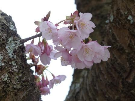 薄紅寒桜 6