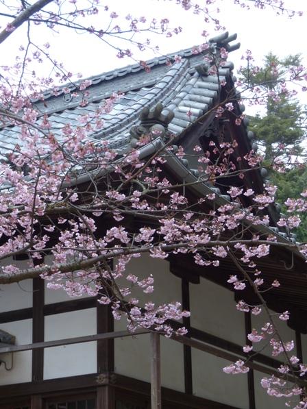 薄紅寒桜 3