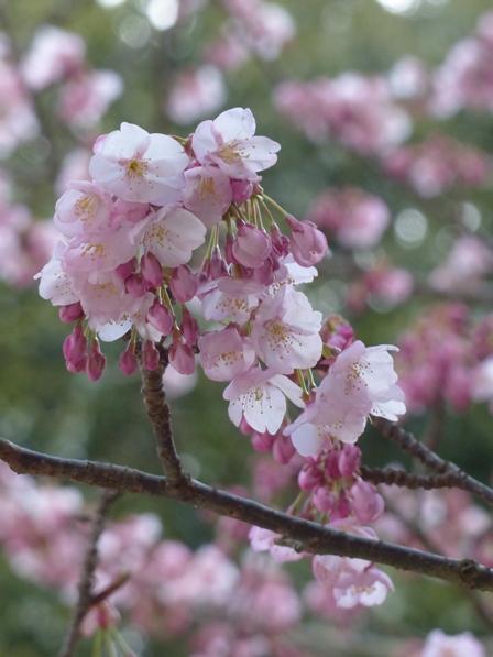 薄紅寒桜 7