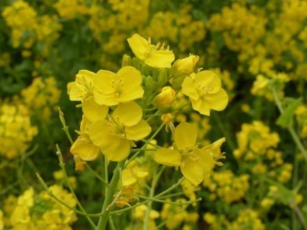 双海町閏住地区 菜の花 4