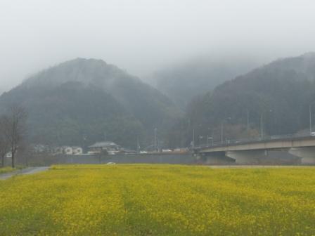 大洲・五郎河原 菜の花 4