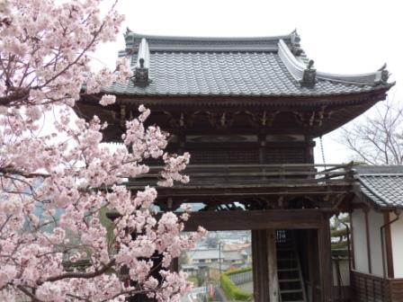 高昌寺 桜 3
