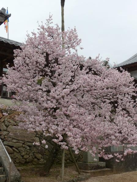高昌寺 桜 2