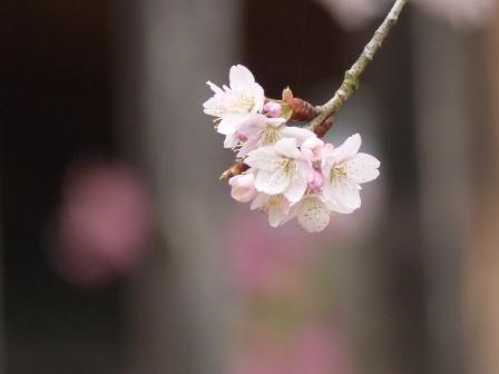 高昌寺 桜 5