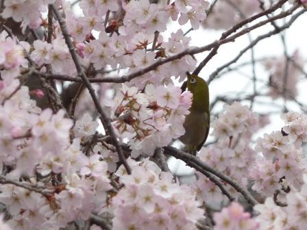 早咲きの桜 & メジロ 1