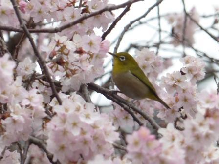 早咲きの桜 & メジロ 2