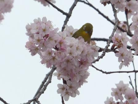 早咲きの桜 & メジロ 3