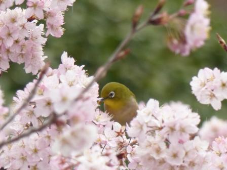 早咲きの桜 & メジロ 4