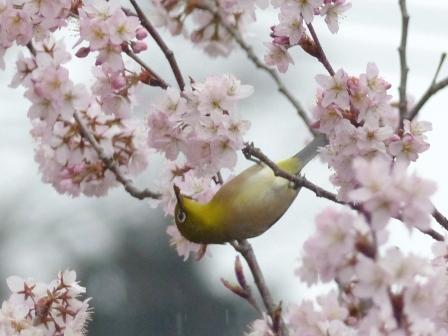早咲きの桜 & メジロ 5
