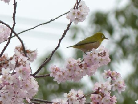 早咲きの桜 & メジロ 6