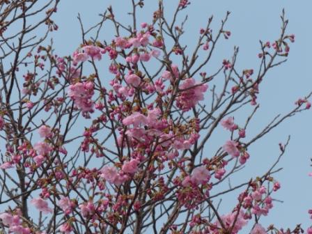 赤坂泉公園 陽光 (桜) 1
