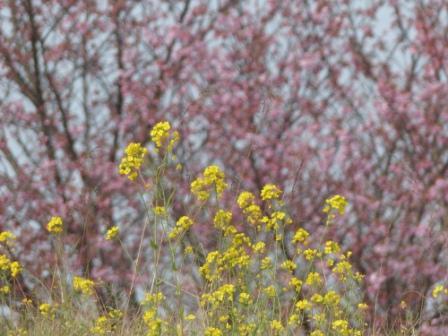 赤坂泉公園 陽光 (桜) & 菜の花 1