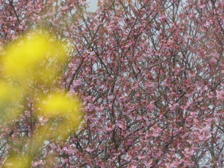 赤坂泉公園 陽光 (桜) & 菜の花 2