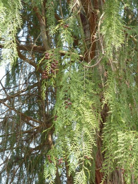 枝垂れヒノキ 2