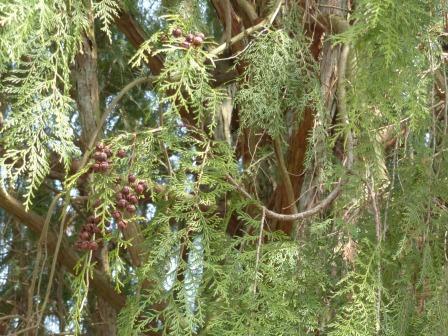 枝垂れヒノキ 1
