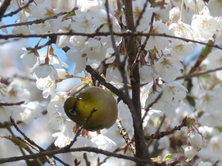 うば桜 & メジロ 1
