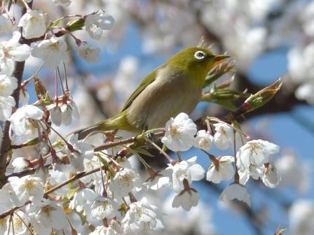 うば桜 & メジロ 2