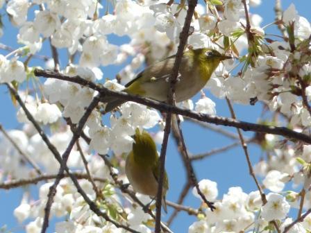 うば桜 & メジロ 4