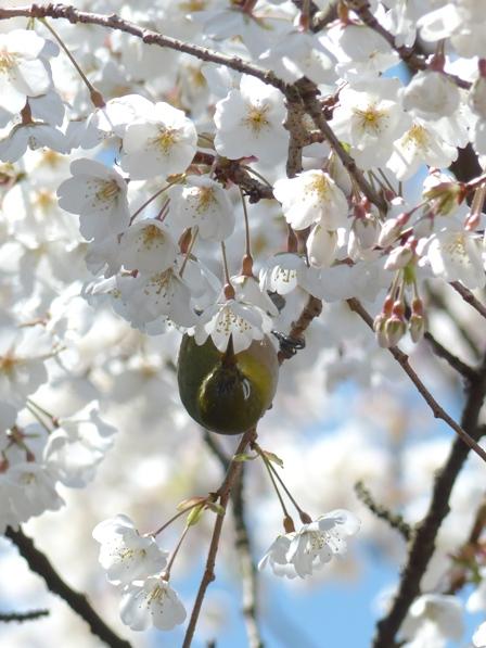 うば桜 & メジロ 9