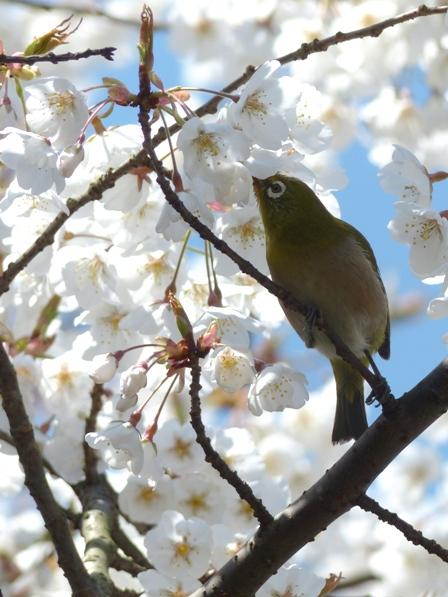 うば桜 & メジロ 10