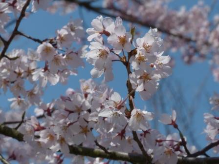 大宝寺 早咲きの桜