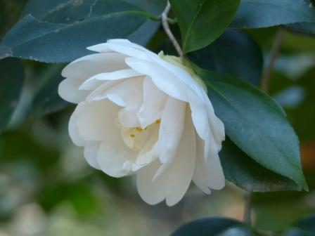 松山総合公園 白牡丹