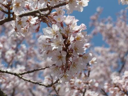 お城山 早咲きの桜