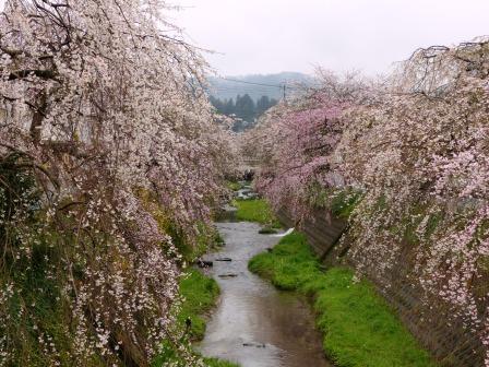 郷之谷川のしだれ桜 1