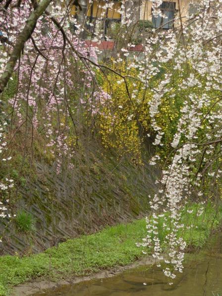 郷之谷川のしだれ桜 5