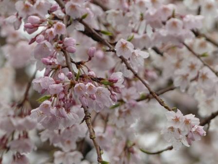 郷之谷川のしだれ桜 2