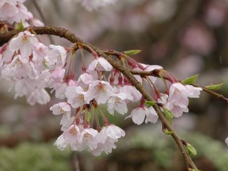 郷之谷川のしだれ桜 3