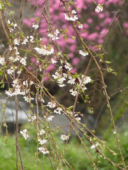 郷之谷川のしだれ桜 6