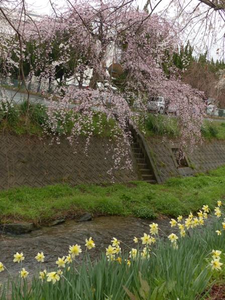 郷之谷川のしだれ桜 7