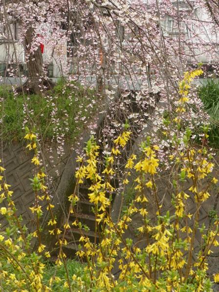 郷之谷川のしだれ桜 8
