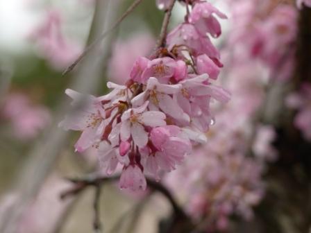 郷之谷川のしだれ桜 4